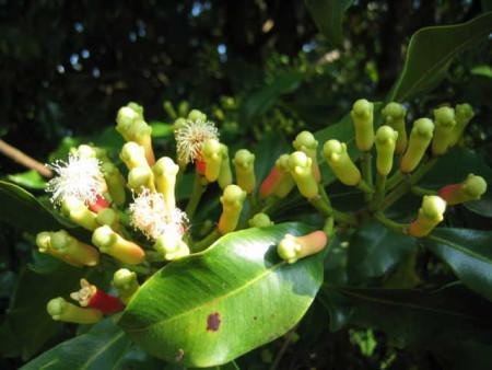 Bỏ túi cách trị hôi miệng hiệu quả từ lá cây